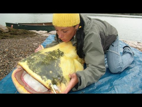 Video Yellow catfish pictures