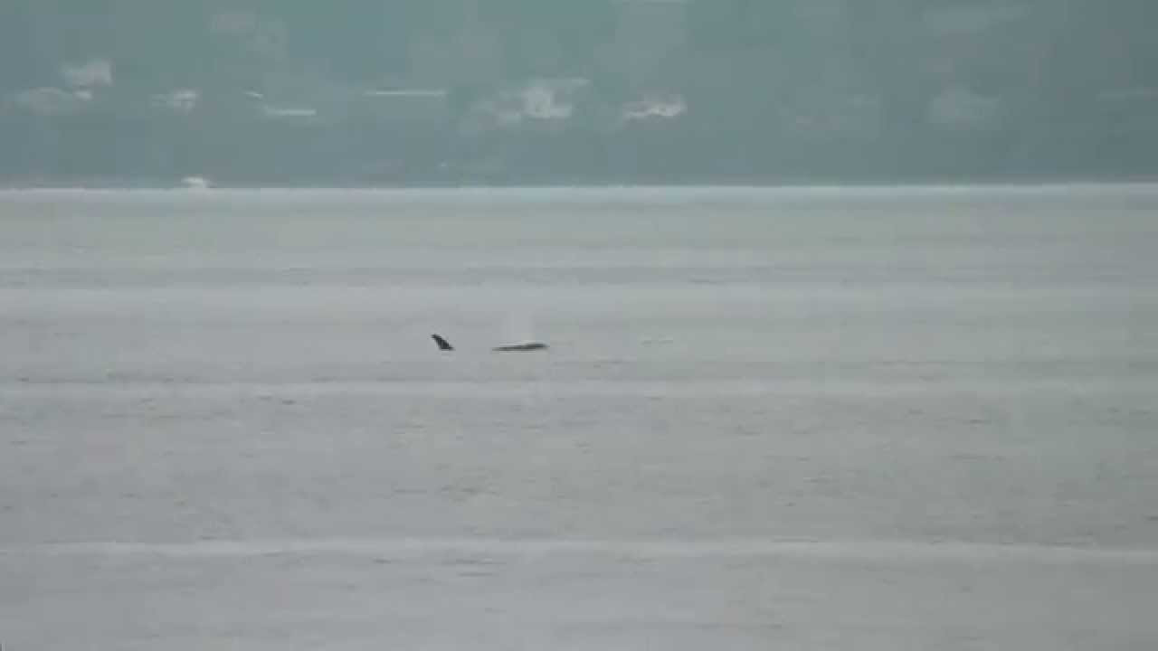 Newborn Orca J50 Spotted Swimming With Jpod Family In Puget Sound  British  Columbia  Cbc News