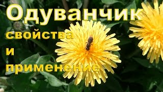 видео Одуванчик обыкновенный