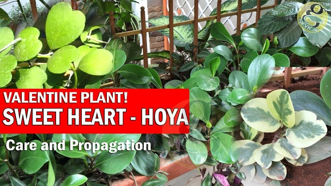 Hoya And Peperomia Sweet Heart Valentine Plant Wax Plant Care