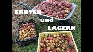 Kürbisse & Tomaten nachreifen, Kartoffeln ernten & lagern, Zucchini vor Frost schützen