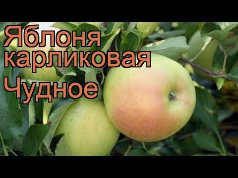 Яблоня карликовая Чудное (malus chudnoe) 🌿 яблоня Чудное обзор: как сажать саженцы яблони Чудное