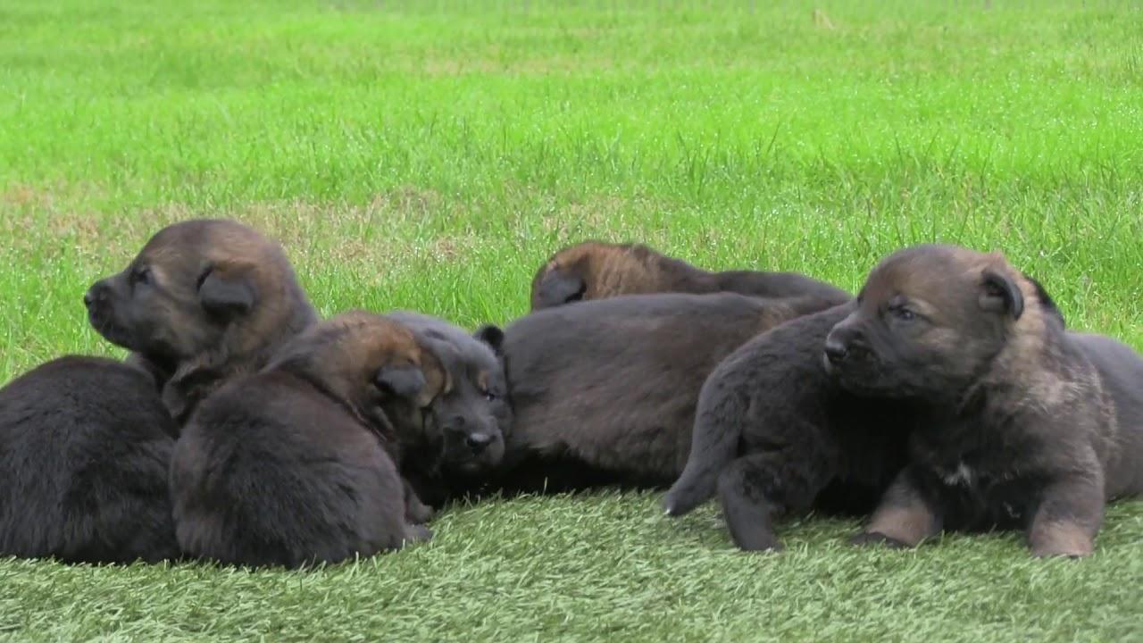 The Real Thing German Shepherd Puppies With Genuine True Black
