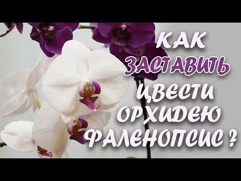 Как заставить цвести орхидею?//Цитокининовая паста