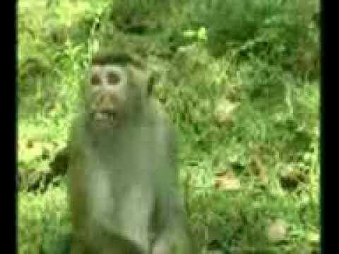 Le singe qui n arrive pas à dire dix en anglais...10 ten 20 ten ten...😂😂😂