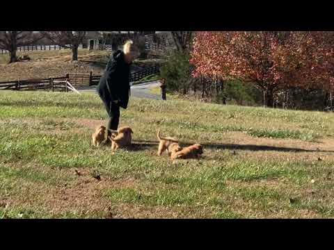 Terra's Australian Labradoodle puppies