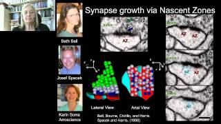 Kristen Harris - Age Dependent Responses of Dendrite Structure to Hippocampal Synaptic Plasticity