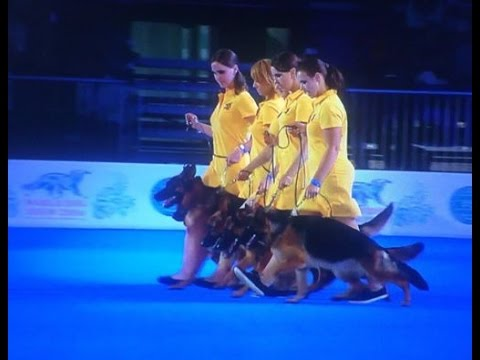 The triumph of the German Shepherd Dog breed at the World Dog Show-2016 in Moscow