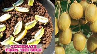 how to grow kİwi from the fruit - Tropical Growing