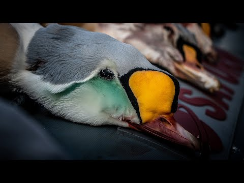 Duck Hunting King Eiders On St. Paul Island, Alaska