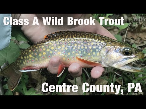 WB - Fly Fishing Class A Wild Brook Trout, Centre County, PA - June '18