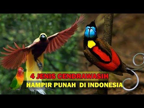 4 Jenis Burung Surga ASLI Indonesia Yang Hampir Punah