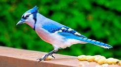 Blue Jay Cyanocitta cristata arrendajo azul blauhäher