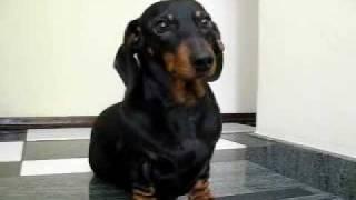 cão salsicha dando a patinha - dachshund puppy giving paw
