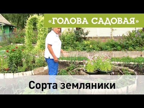 Голова садовая - Сорта земляники смотреть в хорошем качестве
