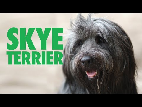 Skye Terrier - One Big Playground