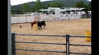 Cattle Dog Trials  2013 In Stroud