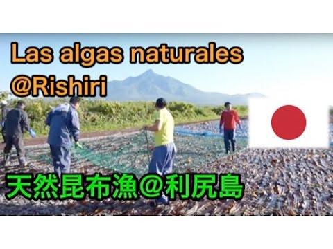 Las algas @Isla de Rishiri天然昆布@利尻島