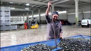Tarladan fabrikaya zeytinyağı yapımı