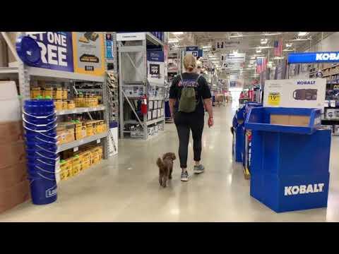 Best Dog Training Toledo, Ohio! 7 Month Old Mini Australian Shepherd Poodle, Maggie