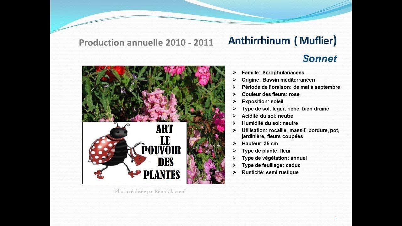 conseils jardinage :Anthirrhinum (muflier) Sonnet: fiche technique plante annuelle - YouTube