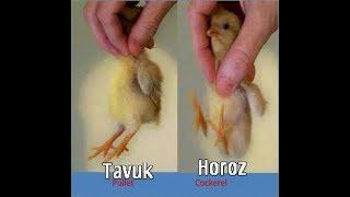 Civcivlerde Cinsiyet Ayrımı  Tavuk mu Horoz mu
