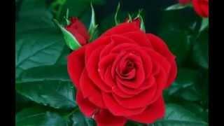 krijimi i trandafilit nj nga shum mrekullit e allahut