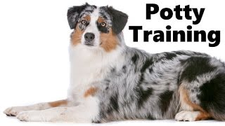 How To Potty Train An Australian Shepherd Puppy - Blue Merle Training - Australian Shepherd Puppies