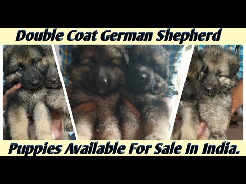 double-coat-german-shepherd-puppies-available-for-sale-in-india.