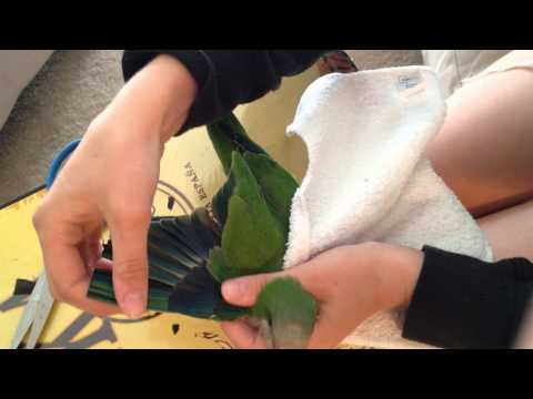 How to clip a birds wings