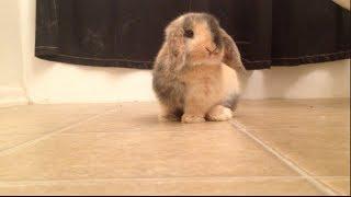 Baby Holland Lop Bunny Explores Bathroom - Bao the Bunny