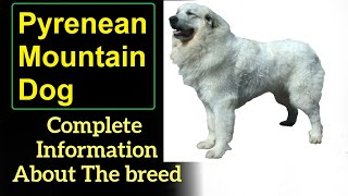 Pyrenean Mountain Dog. Pros and Cons, Price, How to choose, Facts, Care, History