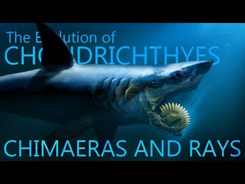 Evolution Of Chondrichthyes I : Chimaeras And Rays
