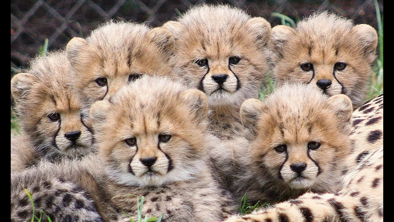 Image result for images of Cheetah cubs
