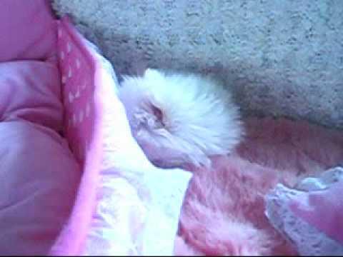 HelloPuppy teacup Pomeranian Baby! - YouTube