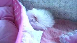 Hellopuppy Teacup Pomeranian Baby!