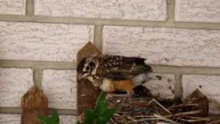 Baby Birds leaving the nest for the first time
