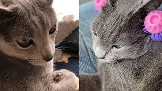 IRRESISTIBLE RUSSIAN BLUE CATS