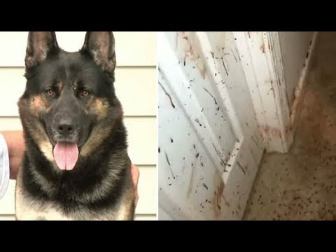 Owner Comes Home Sees Blood On His Walls– Then Looks At German Shepherd And Realizes Nasty Truth