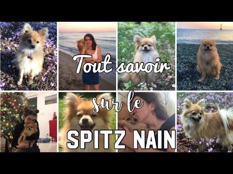 Tout Savoir Sur Le Spitz Nain Conseils Adoption Education Youtube