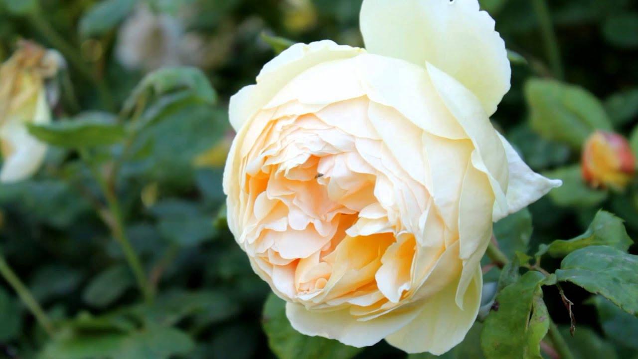 Le rose inglesi verde e dintorni youtube for Rose inglesi
