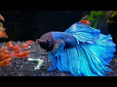 7 Most Popular Betta Tank Mates You Need To Try