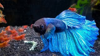 7 Most Popular Betta Tank Mates You Need to Try screenshot 4