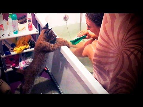 Уговариваю рысь Ханну принять ванну / I persuade lynx Hannah to take a bath