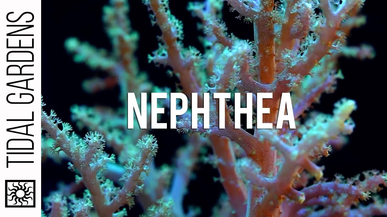 Neon Green Nephthya Leather Coral Propagation - YouTube