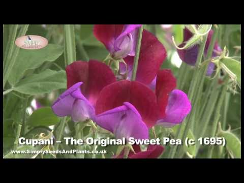 Scented Sweet Peas - How to Grow Lovely Sweet Pea Flowers Like These.