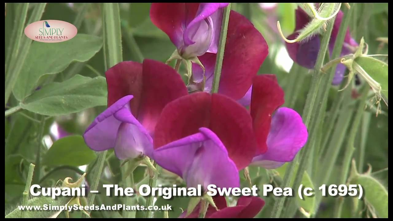 Scented Sweet Peas How To Grow Lovely Pea Flowers Like These You