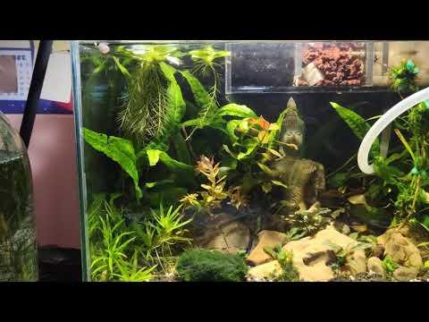 Ольховые шишки в аквариуме