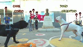 DOGO ARGENTİNO VS CANE CORSO HANGİSİ DAHA GÜÇLÜ