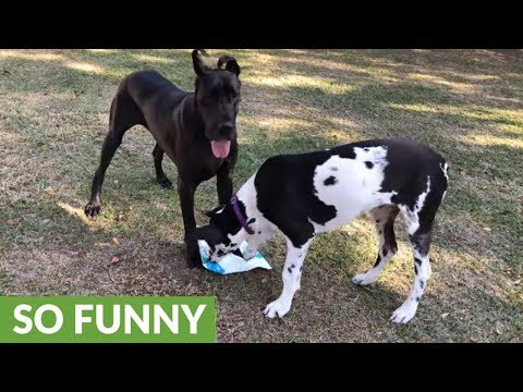 Great Danes play tug-of-war with Amazon package